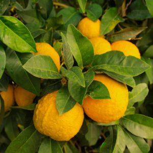 lemons 1368367 1920 300x300 - Donna Cristina