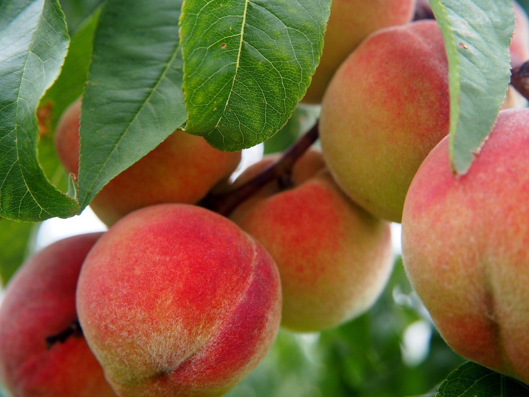 Peaches filled with amaretti