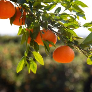 mandarins 3629140 1920 300x300 - Donna Cristina